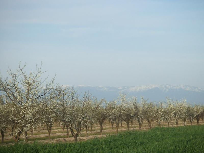 Our Prune Trees are nestled against the Sierra Nevada Mountains